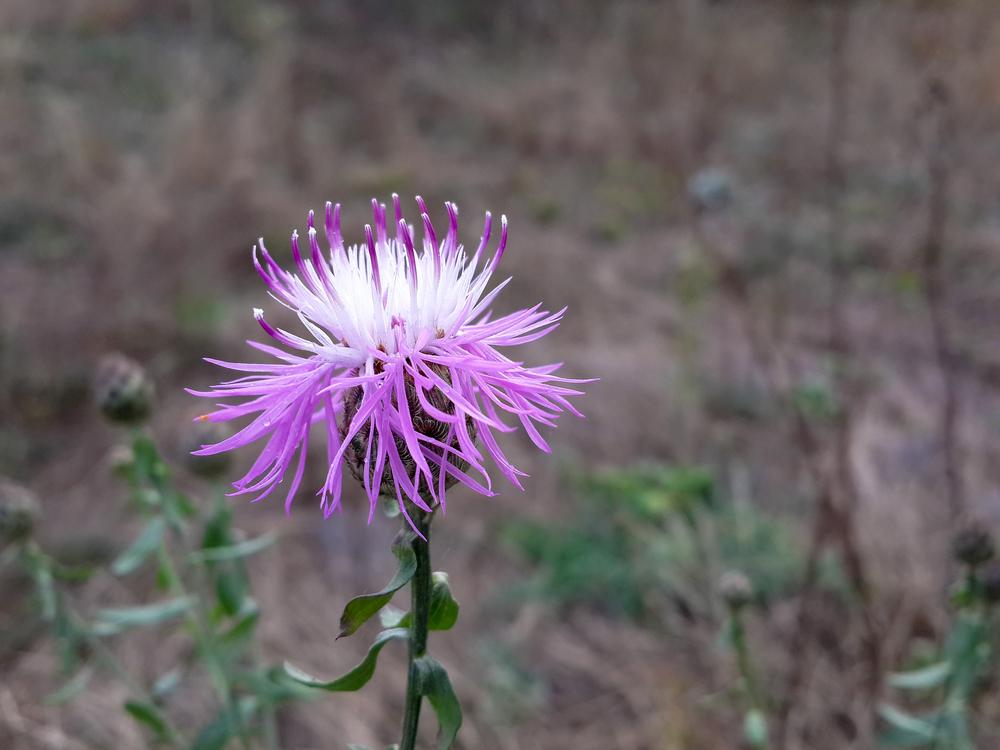 Wild Burdock Flower